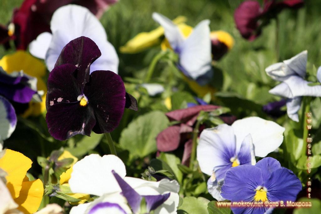 Цветы города Москвы, в Александровском саду картинки