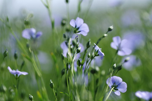 flax this summer