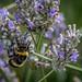 Lavendar_Bees-11