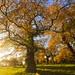 The Cadzow oaks, a Scottish autumn
