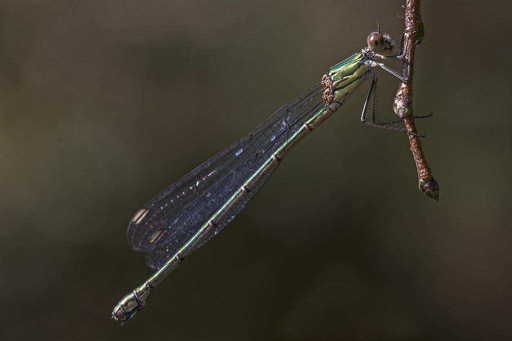 Willow Emerald Damselfly (Lestes/Chalcolestes viridis)