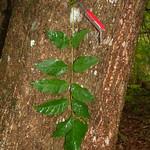 Fraxinus uhdei leaf and bark