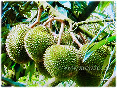 Numeous fruits of Durio zibethinus(Durian, Common Durian, Civet Fruit, Durian Kampong in Malay) attached to its strong branches, 10 Nov 2017