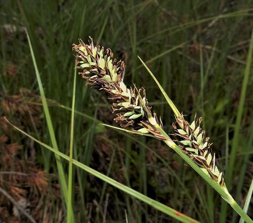 Buxbaum's Sedge (Carex buxbaumii)