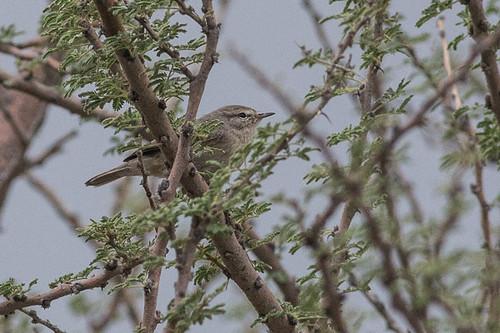 Plain Leaf Warbler