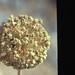 Small photo of Allium ampeloprasum inflorescence. Lindos
