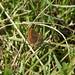 Brown Argus (female)
