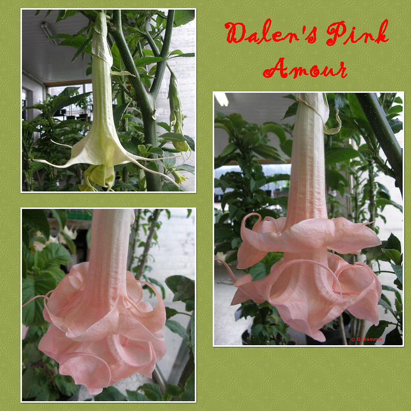 Dalen's-Pink-Amour
