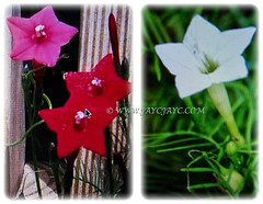 Blossoms of Ipomoea quamoclit (Cypress Vine, Cardinal Creeper/Vine, Star Glory, Hummingbird Vine) come in varying shades of pink, red and white, 2 Dec 2017