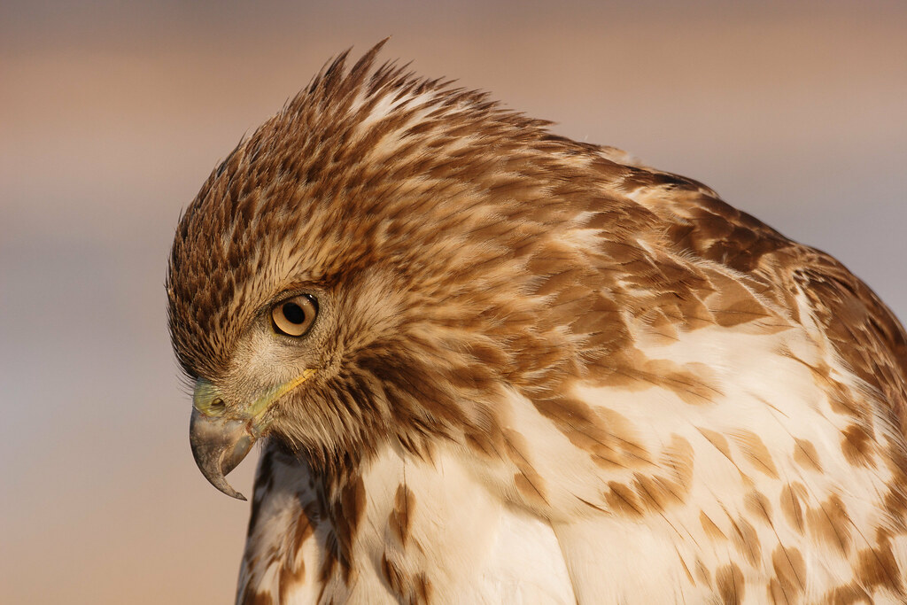 Close-up of juvenile red-tailed hawk's face looking down