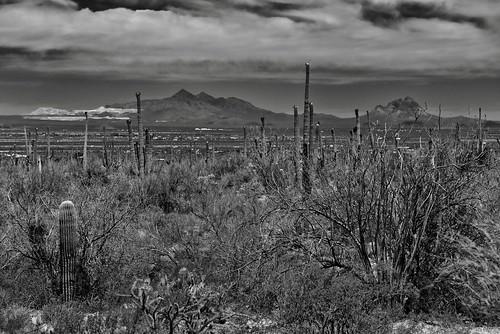 arborescenttreelikecactus baboquivariarea blackwhite blueskieswithclouds cactus cactusacrossdesertlandscape capturenx2edited carnegieagigantea colorefexpro day3 desert desertlandscape desertplantlife engelmanspricklypearcactus intermountainwest landscape lookingnw mountains mountainsindistance mountainsoffindistance nature nikond800e northsonorandesertranges opuntiaengelmannii outside paloverde project365 saguaro saguarocactus saguaronationalpark saguaronationalparktucsonmountaindistrictwest silverbellpeak silverefexpro2 sonorandesert southwestbasinsandranges suburbandevelopmentoffindistance sunny arizona unitedstates