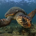 A young male resident loggerhead of Zakynthos