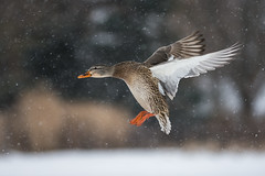 Mallard coming in for some food