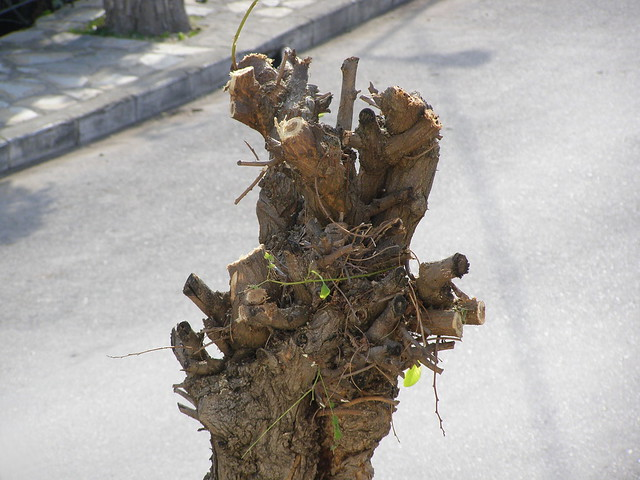 Το φθινοπωρινό κλάδεμα των δέντρων