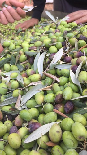 Olive Sorting