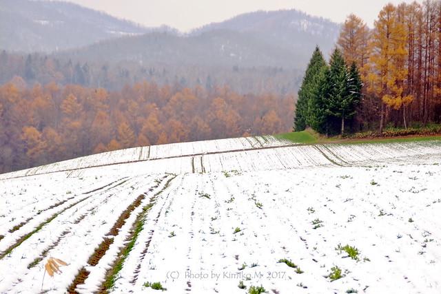 カラマツ林と秋まき小麦畑