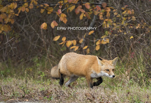 A stalking red fox