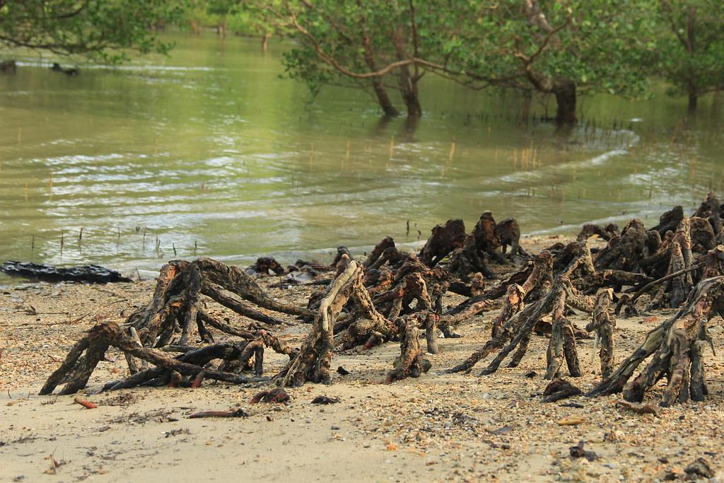 Mangrove swamp, Ko Yao Noi