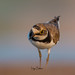 Little Ringed Plover by Irtiza Bukhari