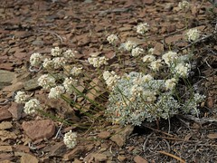 Purpus buckwheat, Eriogonum kennedyi var. purpusii
