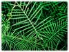 Ipomoea indica (Ipomoea quamoclit (Cypress Vine, Cardinal Creeper/Vine, Star Glory, Hummingbird Vine, Bunga Tali-tali in Malay)