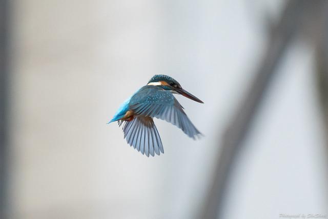 20171123-kingfisher-DSC_8074