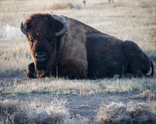 plains seasons wildlife sunrise 7 mammal events colorado outdoors fall prairie bison places animal denver unitedstates us