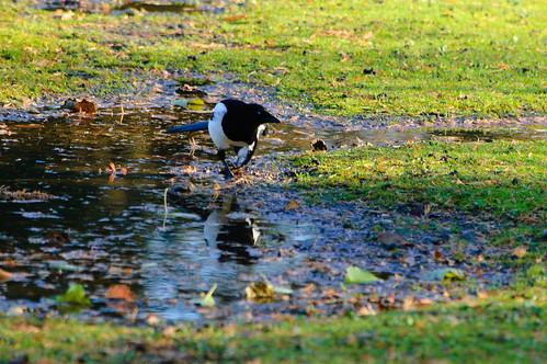Magpie drinking from puddle, West Park