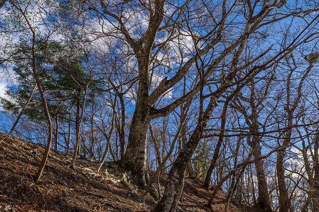 見上げるブナの巨木