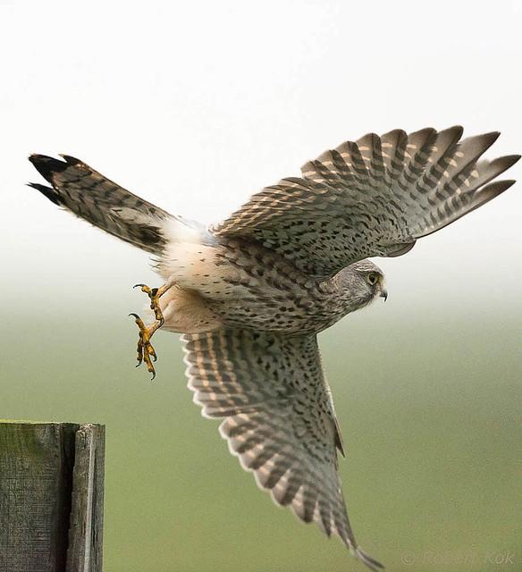 European Kestrel/Torenvalk/Falco tinnunculus (4)!