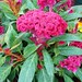 Celosia cristata 'Twisted'