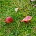 Scarlet hood, Malvern Hills