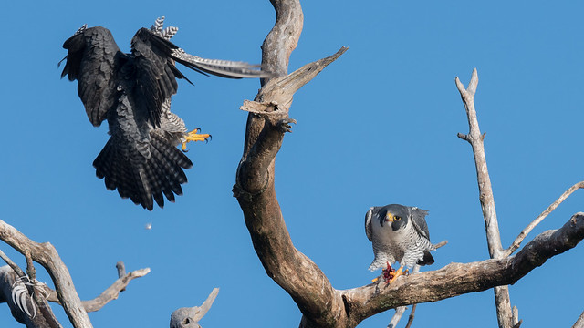 Peregrine Falcons of Alpine | 2107 - 21