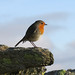 Robin on Black Fell