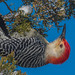 Red Bellied Woodpecker by pictaker64