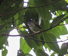 Black-capped Pygmy-tyrant (Myiornis atricapillus)