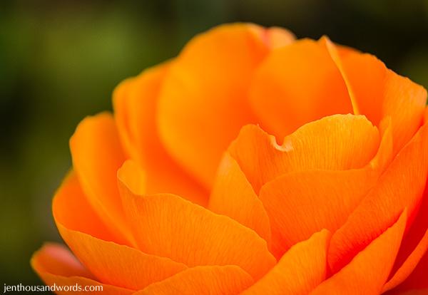 Ranunculus 05