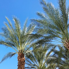 Palm Tree Tree Growth Low Angle View Blue Clear Sky Nature Day Palm Frond Tree Trunk Beauty In Nature No People Sky Outdoors Plant Close-up Palm Springs Ace Hotel