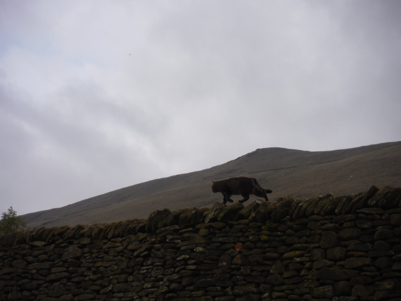 Cat on Wall, Pennine Way SWC Walk 303 - Edale Circular (via Kinder Scout and Mam Tor)