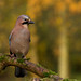 Eurasian Jay (Garrulus glandarius) - Stoke-on-Trent, Staffordshire, UK.