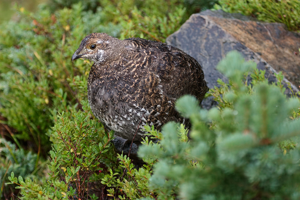 A sooty grouse stands beside a rock on the Sourdough Ridge Trail in Mount Rainier National Park