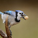 Blue Jay with Peanut-43072.jpg