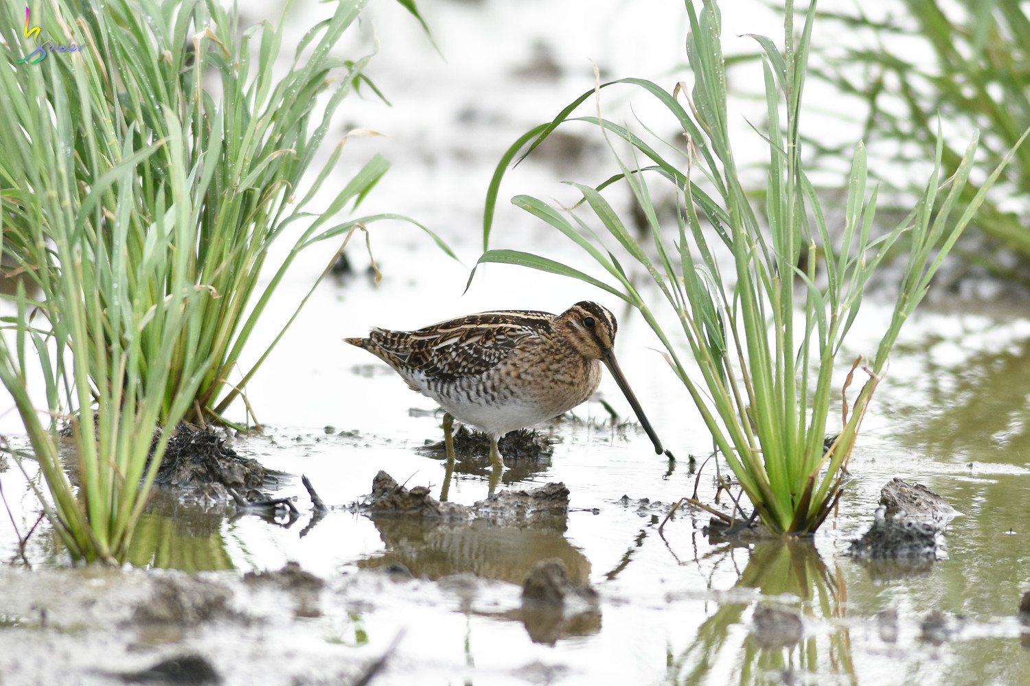Common_Snipe_5039