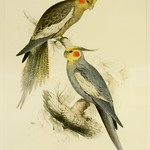 New Holland Parakeet