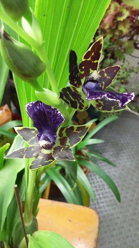 Les orchidées chez Sougriwa - Page 2 37885152005_aac115f787_c