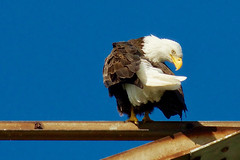 American Bald Eagle Preening Feathers