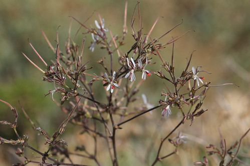 Pelargonium carnosum, section Otidia