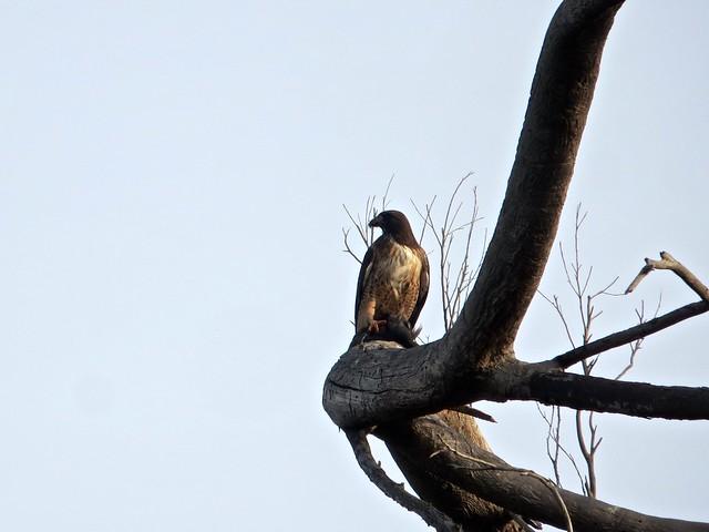 morning hawk in Bluffs Park