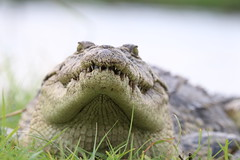 Chobe Crocodile