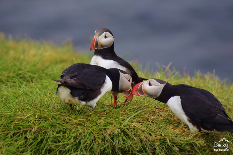 Puffins in Iceland - Atlantic puffins - The best place for seeing Puffins in Iceland